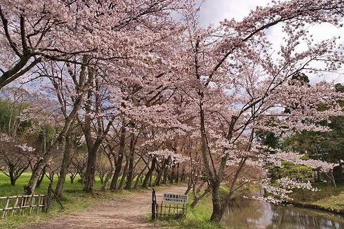 【写真】2013 桜 : 大覚寺/2020-09-15/IMGP9427