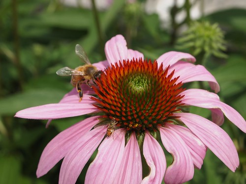 Oberlin College Visit - Echinacea with bees