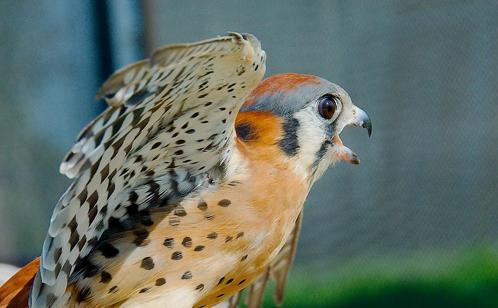 American Kestrel (Falco sparverius)_22