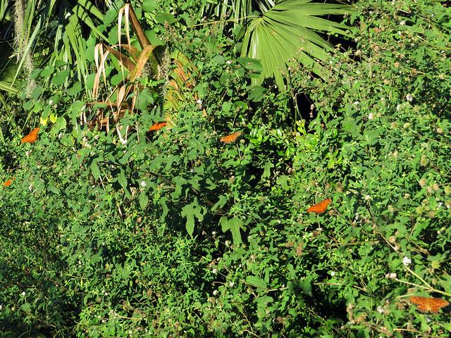 6 Gulf Fritillaries