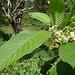 Small photo of Saurauia montana
