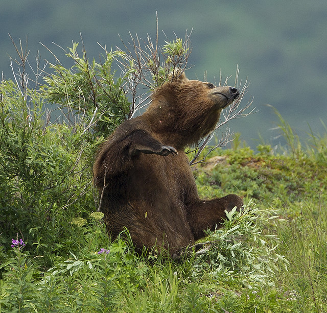 Bear in Alaska.