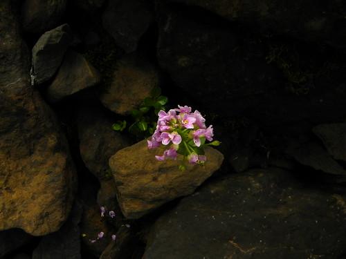 Thlaspi rotundifolium=Tabouret à feuilles rondes (3)