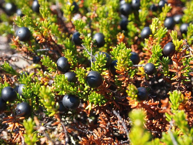 What Will I Look Like When I Grow Up >> Crowberries? | Arctic blackberries (Empetrum nigrum) grow on… | Flickr - Photo Sharing!