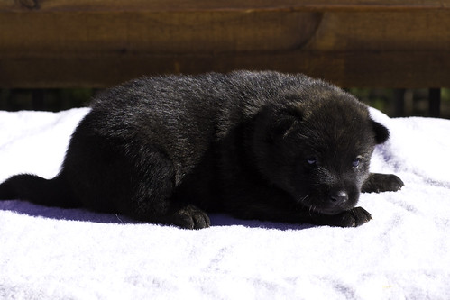 Ayui-Litter3-Day20-Puppy2-Female-d
