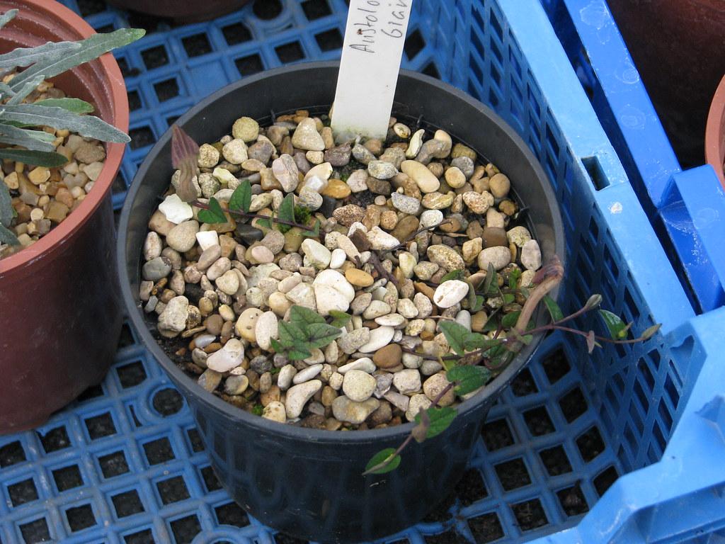 Aristolochia bianorii