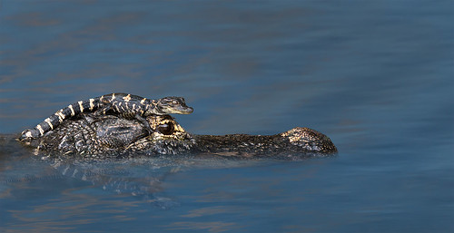 Alligator mom and baby