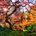 Famous Japanese Garden Tree in Portland by Michael Matti by Michael Matti