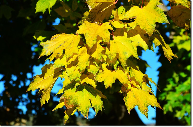 Noway maple in Fall, Chautauqua, Boulder 1