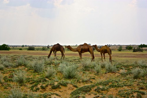 wild camels!