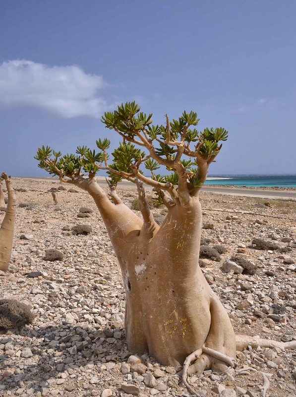 Bottle Tree, Socotra Island
