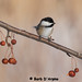 Black-Capped Chickadee by naturethroughmyeyes.com
