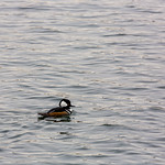 Hooded Merganser, male, Central Park
