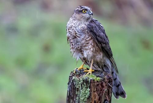Poor wet Sparrowhawk