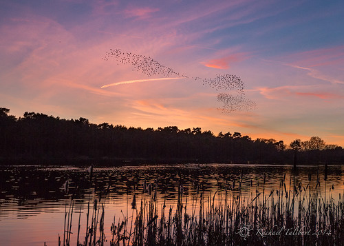 Murmuration over Boldermere