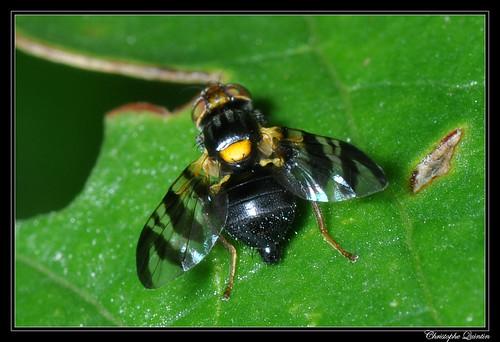Mouche de la cerise (Rhagoletis cerasi)