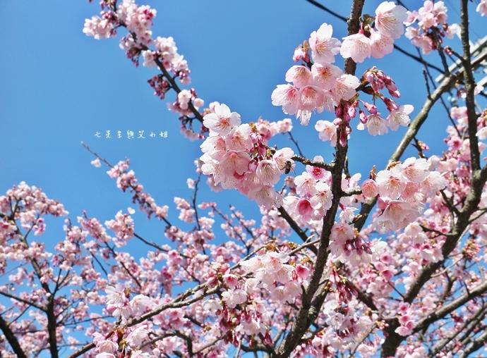 0 平菁街42巷櫻花
