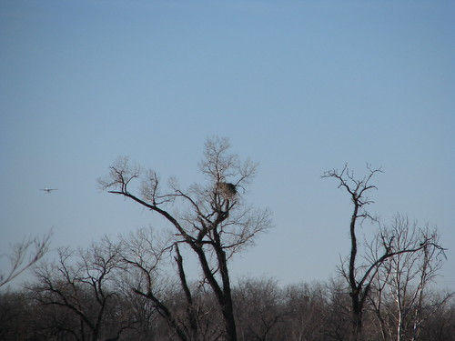Bald eagle nest on the west bank of the Arkansas River near 81st Street in Tulsa, January 2014