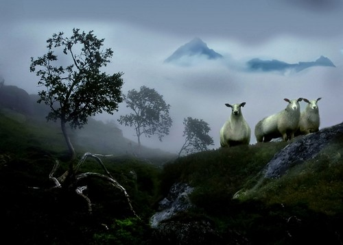 Curious sheep in a foggy landscape