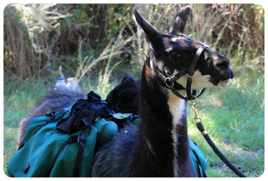 llama trek new mexico