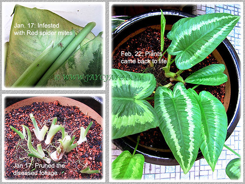 Collage showing the revival of our Schismatoglottis calyptrata from infestation of red spider mites