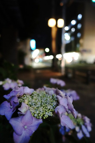 The flowers of Hydrangea in commuting 2014/06 No.2.
