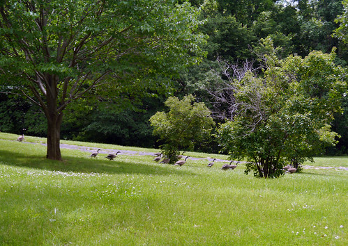 2014-06-21 - Geese - 0005 [flickr]