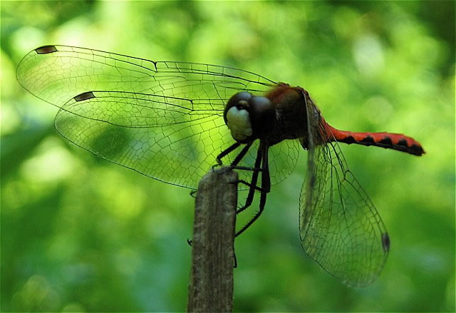 2.1 white-faced meadowhawk