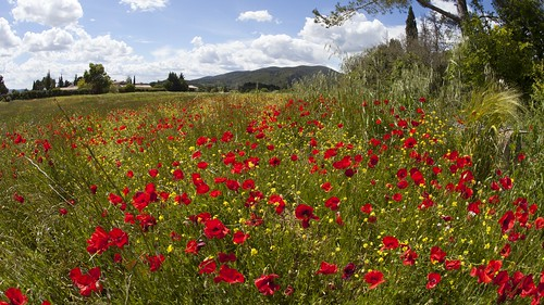 Poppy meadow in Luberon NP, Provence, France
