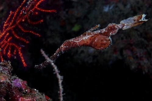 Solenostomus cyanopterus 藍鰭剃刀魚(?)
