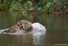 A jaguar swimming in the Brazilian Pantanal, taken by Panthera's President, Dr. Luke Hunter