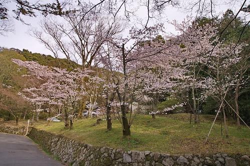 【写真】2013 桜 : 円山公園(2)/2020-11-17/IMGP9276