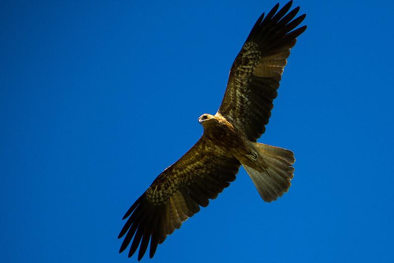 Whistling kite - Photo by Parks Australia