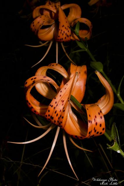 lilies18