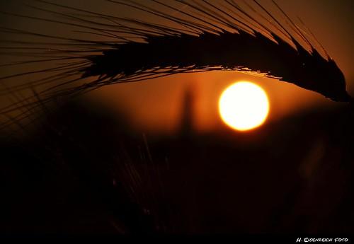 sunset summer sun eye nikon sonnenuntergang sommer wheat ear sonne auge weizen ähre lauterachtal eisenreich mygearandme