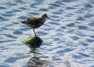 Curlew Sandpiper, Tidal Pool