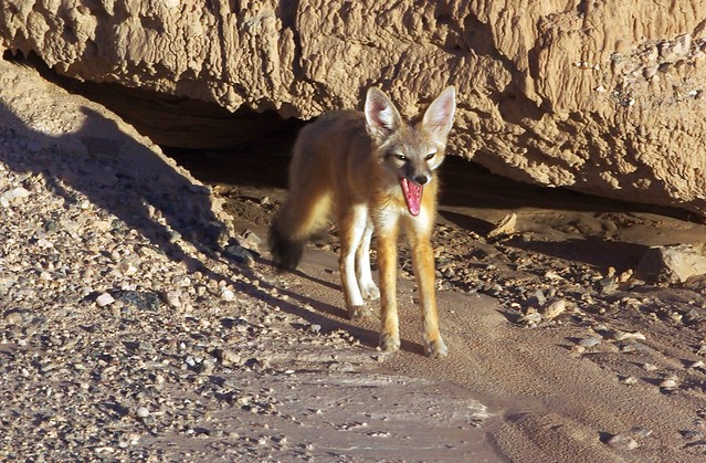 Fennec Fox, Cathedral Gorge State Park Nevada