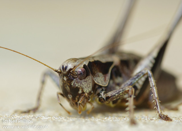 dark bush cricket-2