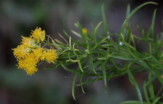 Western Goldenrod - Euthamia occidentalis