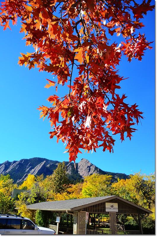 Oak(橡、櫟) in Fall, Chautauqua, Boulder 15