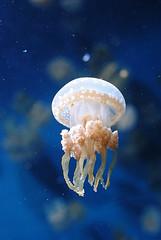 animal(1.0), jellyfish(1.0), organism(1.0), marine biology(1.0), invertebrate(1.0), marine invertebrates(1.0), zooplankton(1.0),