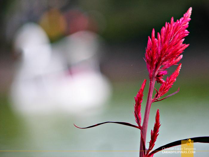 A Flower in Burnham Park in Baguio City