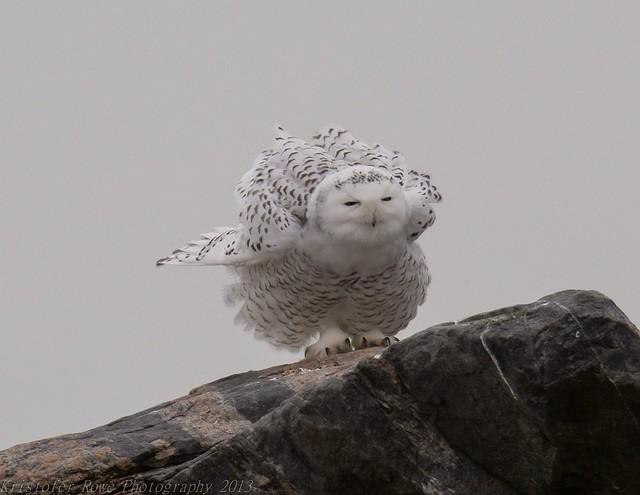 My first Snowy Owl!!!! pose 5
