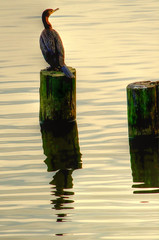 Cormorant Resting at Shelley Lake