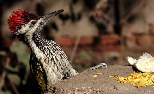 Golden-backed woodpecker checking out the local cuisine
