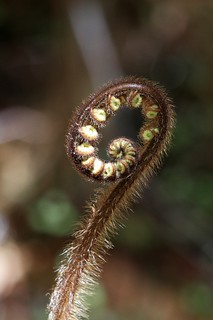 Silver fern. New Zealand. IMG_1701