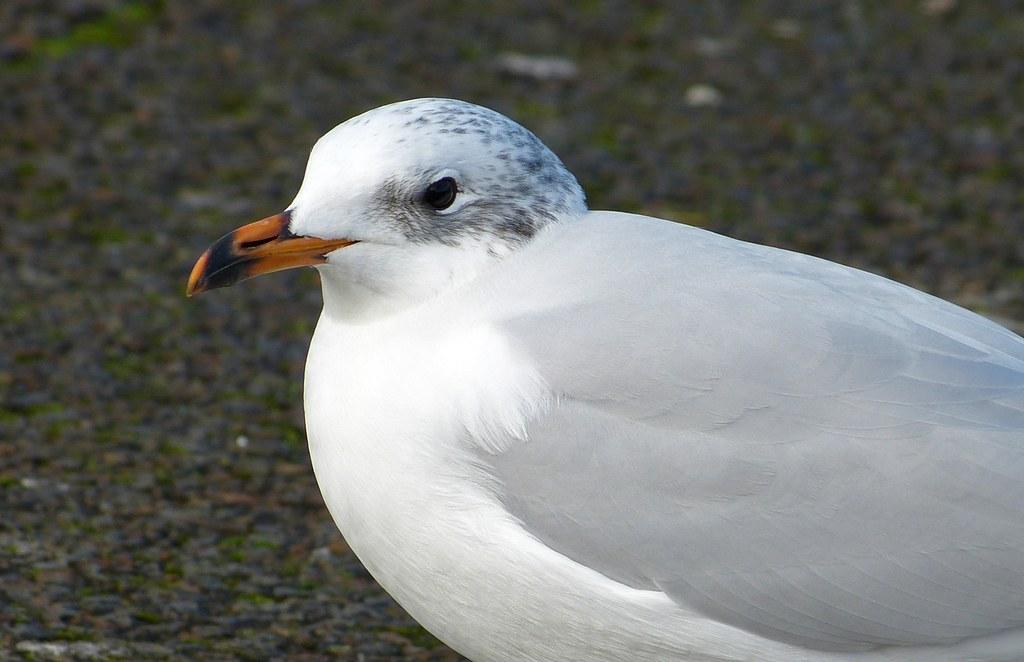 P1060453 - Mediterranean Gull, Bracelet Bay