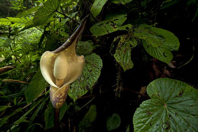 Amorphophallus beccarii