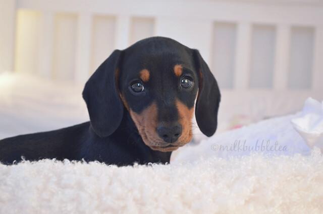 oscar the miniature dachshund milk bubble tea blog