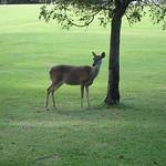 Side deer